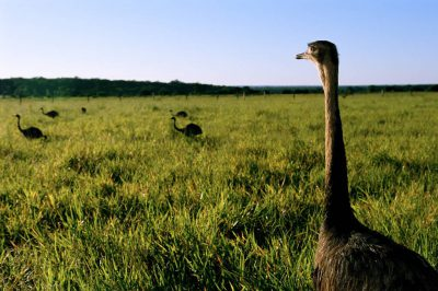 Photo: A male greater rhea (Rhea americana) shepherds his chicks through grassland near Caiman Ranch in the Brazilian Pantanal.