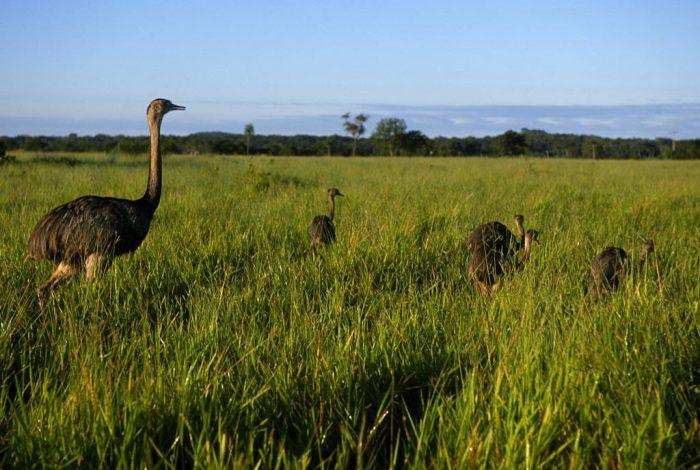 Photo: A male greater rhea (Rhea americana) shepherds his chicks through grassland near Caiman Ranch in the Brazilian Pantanal.