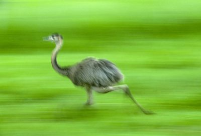 Photo: A greater rhea (Rhea americana) runs through grassland in the Brazilian Pantanal, near Caiman Ranch.