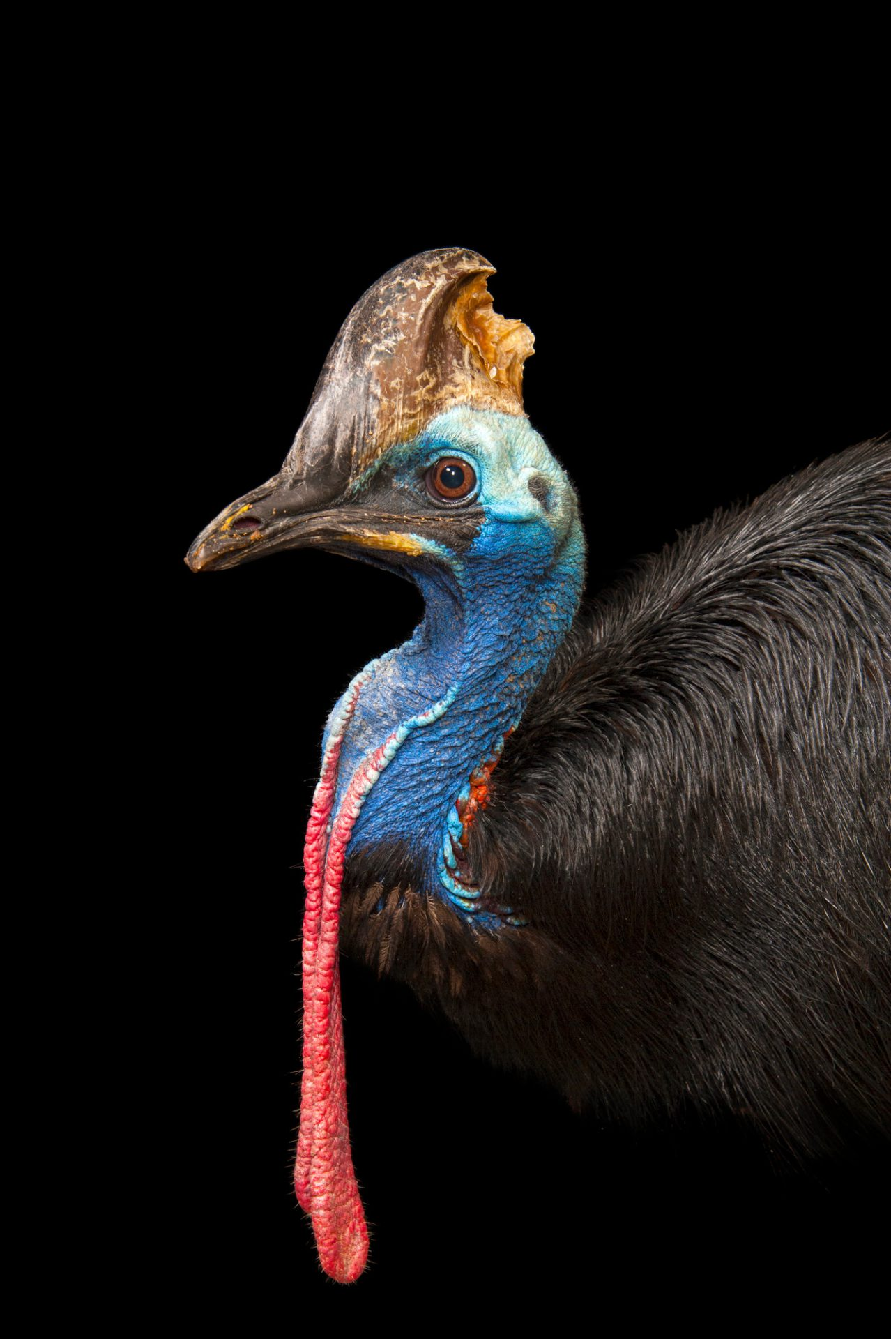 A vulnerable double-wattled cassowary (Casuarius casuarius) at the Gladys Porter Zoo in Brownsville, Texas.