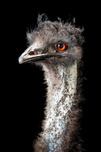 An emu (Dromaius novaehollandiae) at the Gladys Porter Zoo in Brownsville, Texas.
