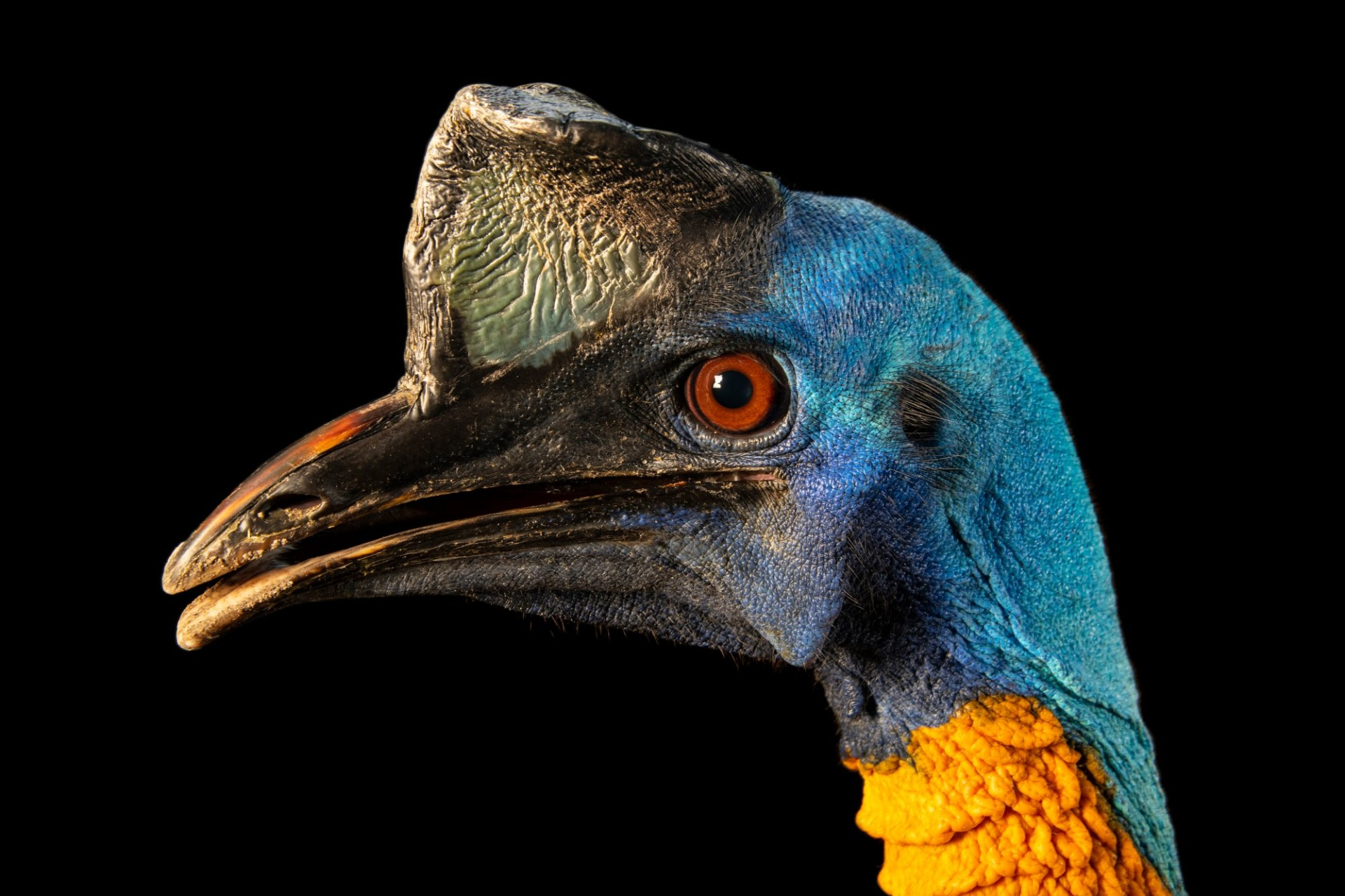 Photo: Single wattled cassowary (Casuarius unappendiculatus unappendiculatus) at Avilon Zoo.