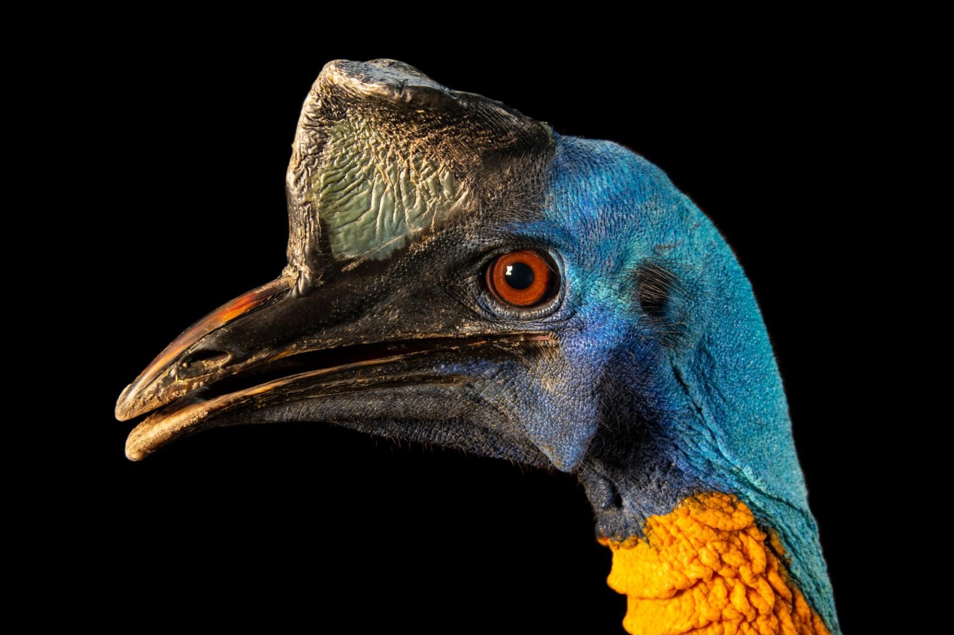 Photo: Single wattled cassowary (Casuarius unappendiculatus unappendiculatus) at Avilon Zoo.