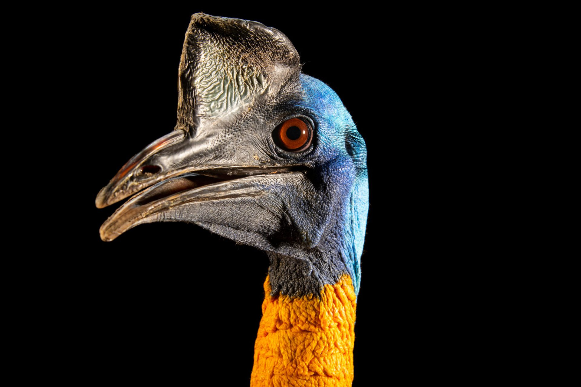 Photo: Single wattled cassowary (Casuarius unappendiculatus unappendiculatus) at the Avilon Zoo.