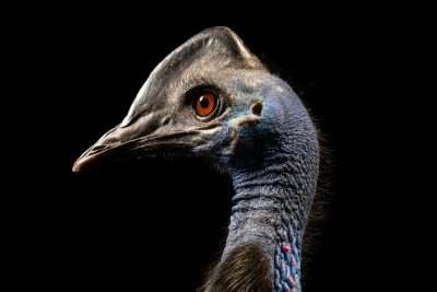 Photo: Bennett's cassowary (Casuarius bennetti edwardsii) at the Avilon Zoo.
