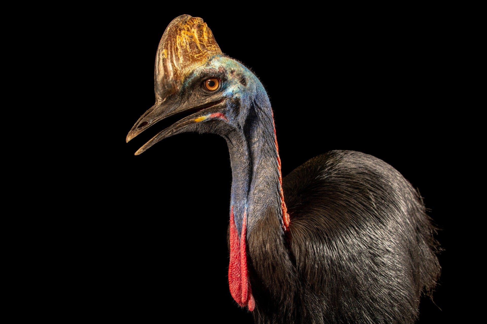 Photo: A double-wattled cassowary (Casuarius casuarius sclateri) at a private collection in Jakarta, Indonesia.