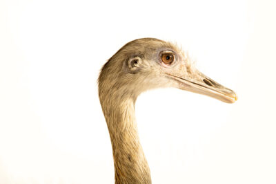 Photo: A greater rhea (Rhea americana) at the Audubon Zoo, part of the Audubon Nature Institute.