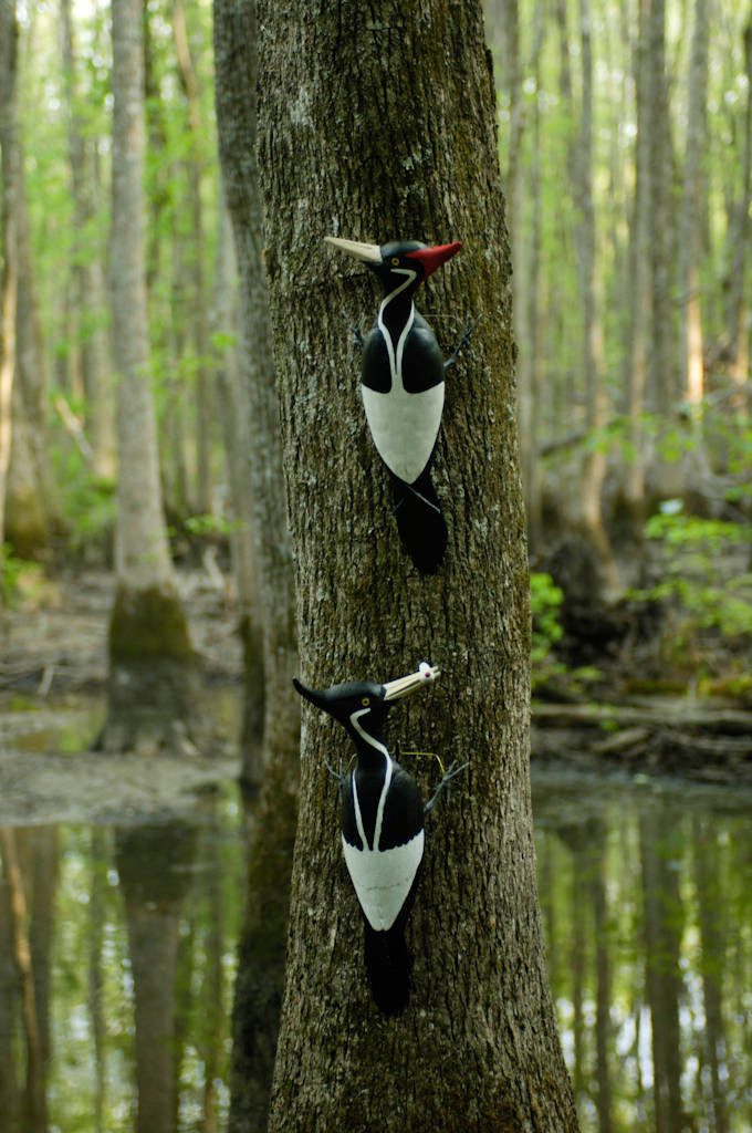 Photo: Ivory-billed woodpecker decoys at Bayou De View in the Cache River National Wildlife Refuge, Arkansas.