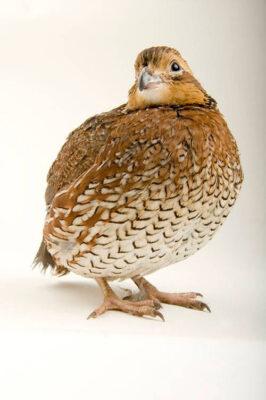Portrait of a female northern bobwhite quail (Colinus virginianus).