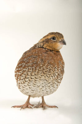 Portrait of a female northern bobwhite quail (Colinus virginianus).