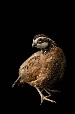 Portrait of a male northern bobwhite quail (Colinus virginianus).