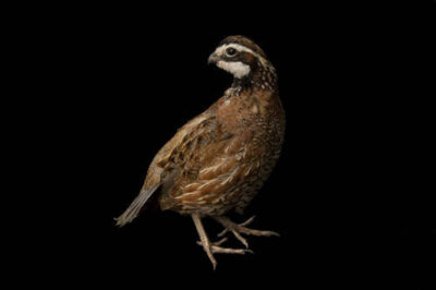 Portrait of a male northern bobwhite quail (Colinus virginianus).