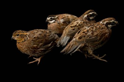Portrait of male and female northern bobwhite quail (Colinus virginianus).