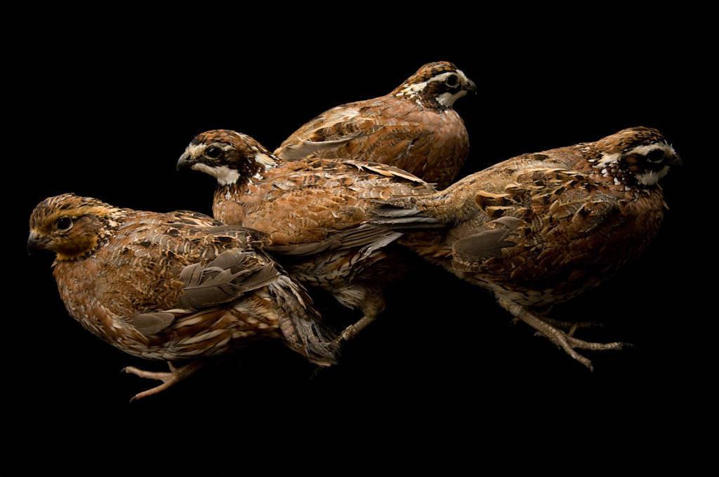 Portrait of male and female northern bobwhite quail (Colinus virginianus).
