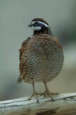 A male northern bobwhite quail (Colinus virginianus) at the Toledo Zoo.