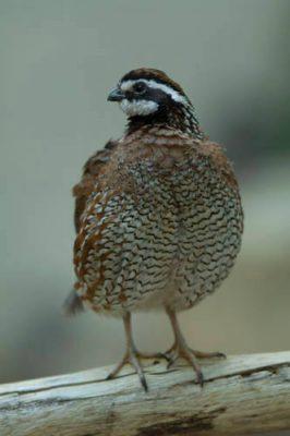 A male northern bobwhite quail (Colinus virginianus) at the Toledo Zoo.