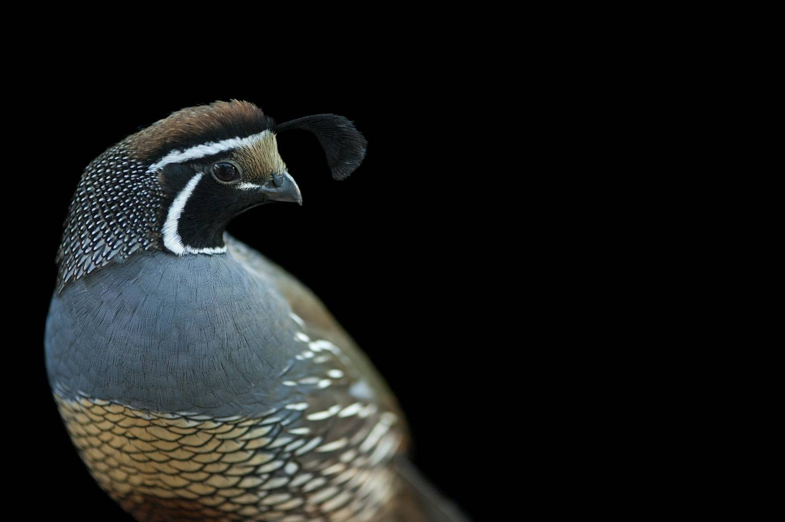 A California quail (Callipepla californica) at Parrots in Paradise, a bird attraction in Glass House Mountains, Queensland.