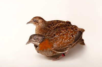 A male and female Madagascar button quail (Turnix nigricollis) at the Houston Zoo. This hen has laid many eggs but is not a big fan of her mate, although her mate is a big fan of hers.