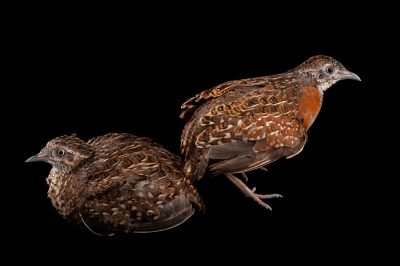 Two Madagascar button quails (Turnix nigricollis) at Omaha's Henry Doorly Zoo and Aquarium, Omaha, Nebraska.