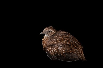 A Madagascar button quail (Turnix nigricollis) at Omaha's Henry Doorly Zoo and Aquarium, Omaha, Nebraska.