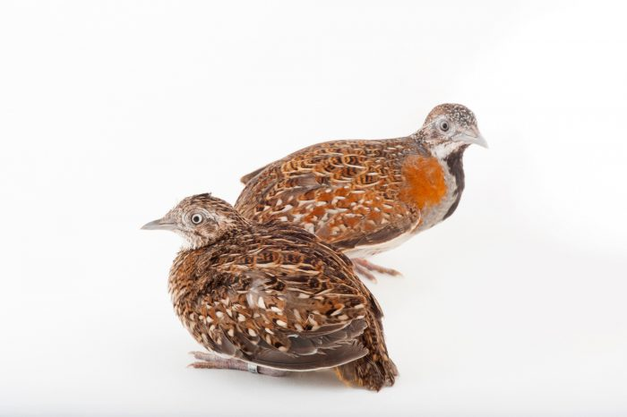 Two Madagascar button quails (Turnix nigricollis) at Omaha's Henry Doorly Zoo and Aquarium, Omaha, Nebraska.