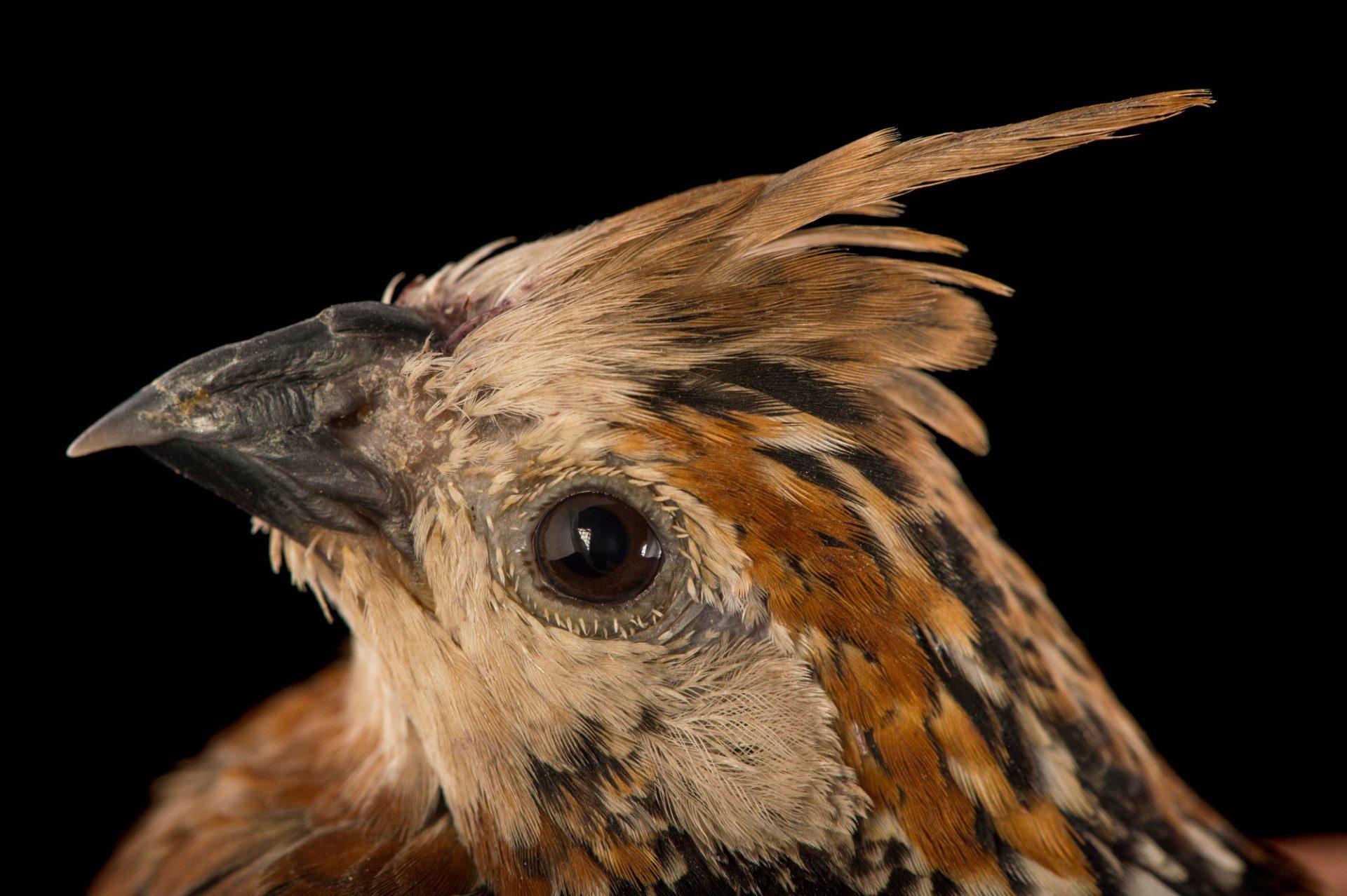 Picture of a crested bobwhite (Colinus cristatus) at the Dallas World Aquarium.