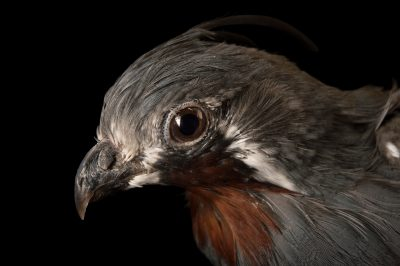 Picture of a mountain quail (Oreortyx pictus) at Omaha's Henry Doorly Zoo.