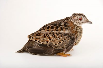 Picture of a painted buttonquail (Turnix varia) at the Healesville Sanctuary.