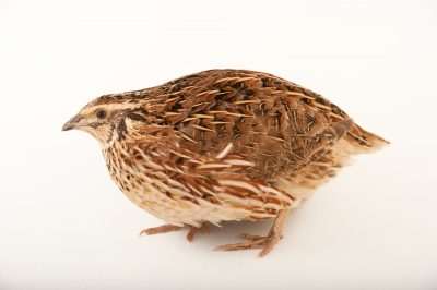 Picture of a Japanese quail (Coturnix japonica) at the Santa Barbara Wildlife Care Network.