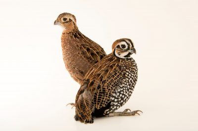 Photo: Montezuma's quail (Cyrtonyx montezumae) at the San Antonio Zoo. The male has the black and white head.