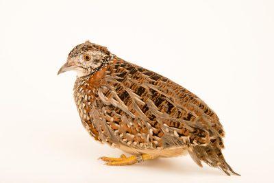 Photo: Painted button quail (Turnix varius) at Healesville Sanctuary.