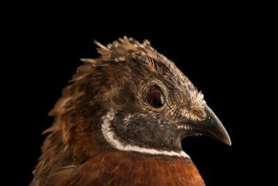 Photo: Asian blue quail (Coturnix chinensis) at Bay Beach Wildlife Sanctuary