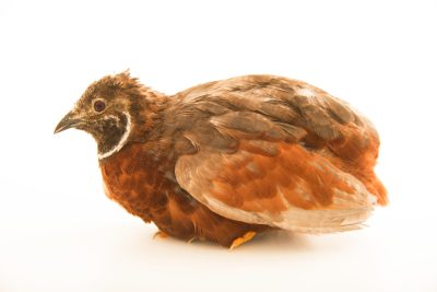 Photo: Asian blue quail (Coturnix chinensis) at Bay Beach Wildlife Sanctuary