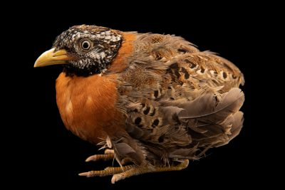 Photo: Spotted Buttonquail (Turnix ocellatus) at the Avilon Zoo.