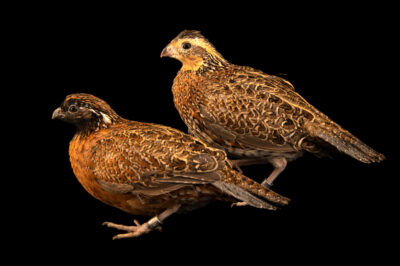 Photo: A pair of masked bobwhite quail (Colinus virginianus ridgwayi) at the Sutton Avian Research Center near Bartlesville, Oklahoma.