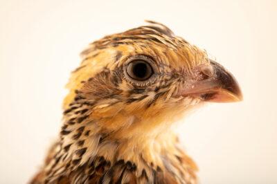 Photo: A female masked bobwhite quail (Colinus virginianus ridgwayi) at the Sutton Avian Research Center near Bartlesville, Oklahoma.