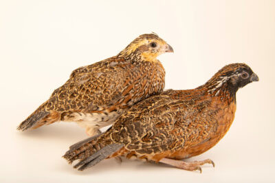Photo: A pair of masked bobwhite quail (Colinus virginianus ridgwayi) at the Sutton Avian Research Center near Bartlesville, Oklahoma.