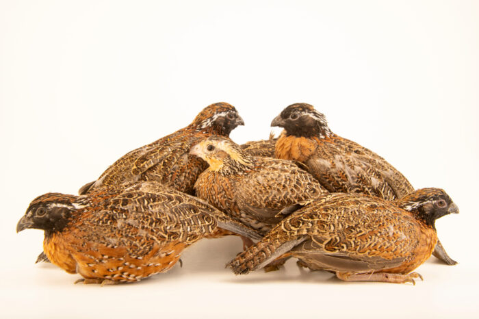 Photo: A group of masked bobwhite quail (Colinus virginianus ridgwayi) at the Sutton Avian Research Center near Bartlesville, Oklahoma.