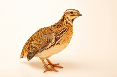 Photo: A European quail (Coturnix coturnix coturnix) at Zoo Plzeň.