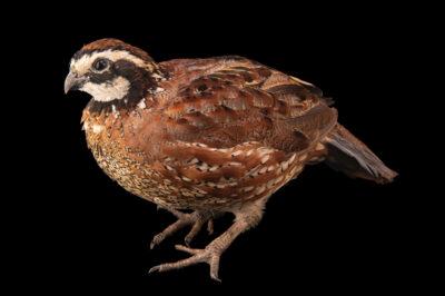 Photo: An eastern bobwhite quail (Colinus virginianus virginianus) named 'Quailman' at the Brevard Zoo.