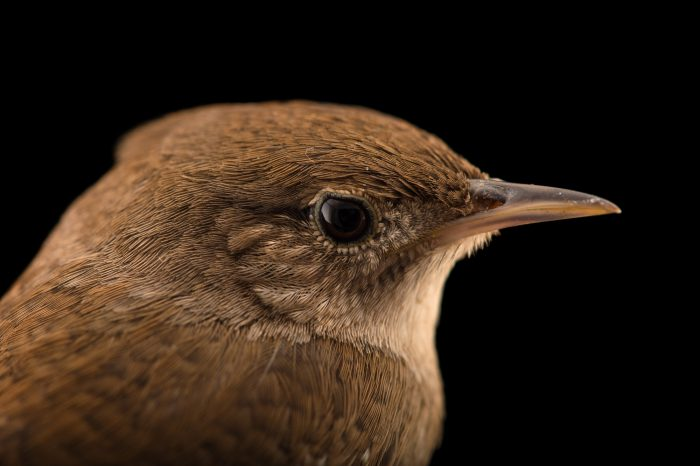 Picture of a house wren (Troglodytes aedon) from the wild near Thomasville, Georgia.