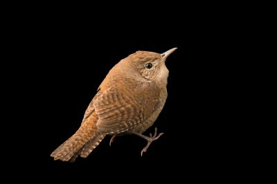 Picture of a house wren from the wild near Thomasville, Georgia.