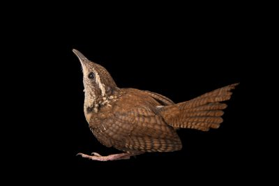 Carolina wren (Thryothorus ludovicianus miamensis) at Florida Wildlife Care.