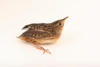 Photo: Grass wren (Cistothorus platensis) at the Wildlife Rehabilitation Center of Minnesota