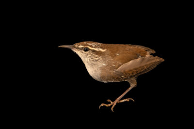 Photo: A Bewick's wren (Thryomanes bewickii) at Santa Barbara Wildlife Care Network.