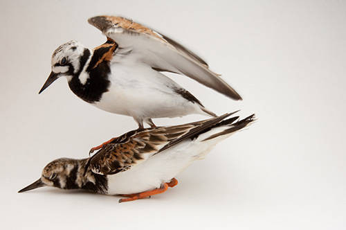 A ruddy turnstone (Arenaria interpres).