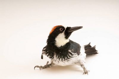 An acorn woodpecker (Melanerpes formicivorus) at Wildlife Images, an animal rehabilitation center near Merlin, Oregon.