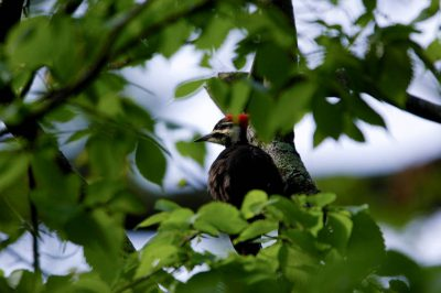 Picture of a pileated woodpecker (Dryocopus pileatus) at a nest cavity near St. Charles, Arkansas.