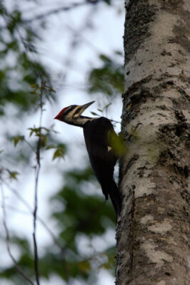 Picture of a pileated woodpecker (Dryocopus pileatus) at Bayou De View in the Cache River National Wildlife Refuge, Arkansas.