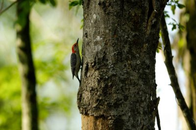Picture of a red-bellied Woodpecker (Melanerpes carolinus) at the Bayou De View in the Cache River National Wildlife Refuge, Arkansas.